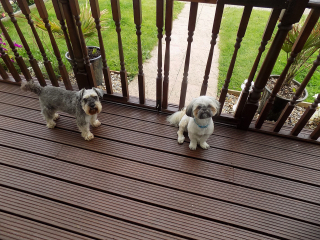 DOGS ON VERANDA